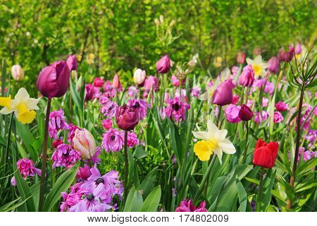 Beautiful tulips in the spring time.Colorful tulips and Daffodils.