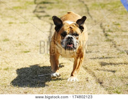English bulldog running a lure course at the park