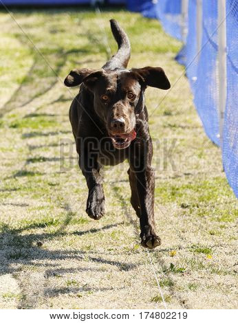 Labrador Retriever dog chasing a lure on a lure course at the park