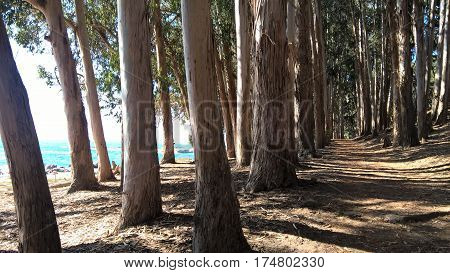 Eucalyptus forest near the beach in Papudo, Chile