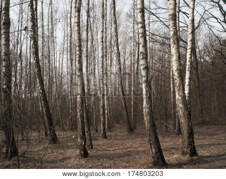 Spring landscape birch grove in early March
