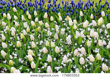 Beautiful white tulips in the spring time.Flowers background.