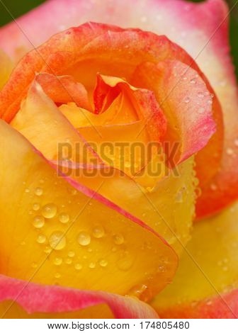 Pink and yellow rose with water drops. Bright Yellow and Pink Multicolored Hybrid Rose.