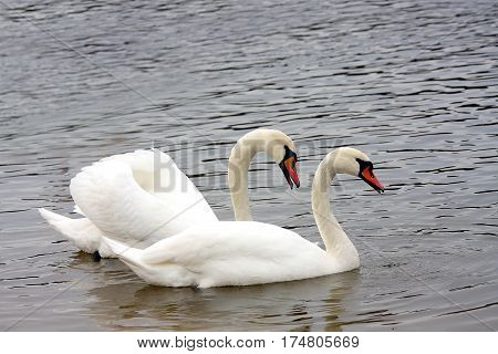 The white swan has fluffed up wings looking after the darling