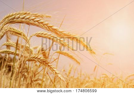 Wheat field in the sun. Golden wheat ears close-up. A fresh crop of rye. The idea of a rich harvest concept. Rural landscape under shining sunlight. for the design. Soft lighting effects.