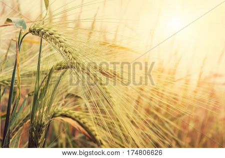 golden field of wheat and sunny day. Spikes ready for harvest wheat or rye closeup lit by sunlight against the sky. Copy space installation of sunlight on the horizon Close up photo of nature. Idea concept rich harvest.