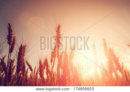 backdrop of golden ears on the wheat field on the sunset. Copy space of the setting sun rays on horizon. majestic sunrise. soft light effect. a rich harvest