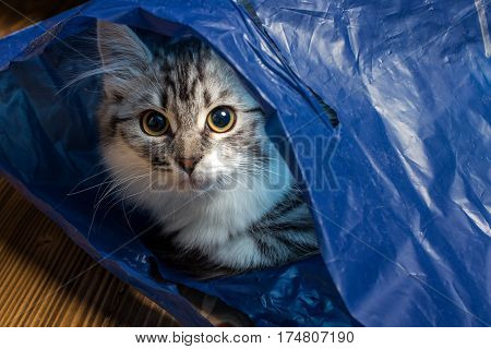 Fluffy fluffy gray cat in a blue bag close up