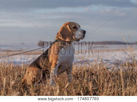 Dog Beagle on a walk in the spring outdoors