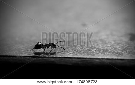 Common ant on a table in black and white