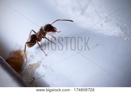 Macro shot of a black garden ant, a.k.a common ant