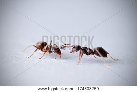 Two black garden ants, a.k.a. common ants, switching information