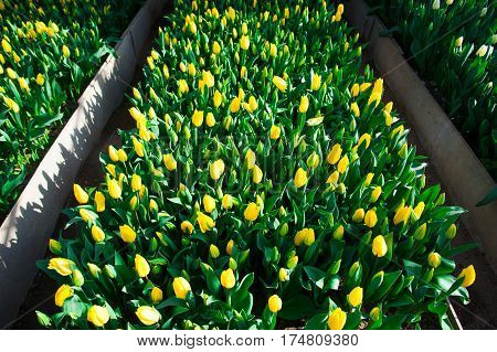 Spring Scene Of Tulip Field