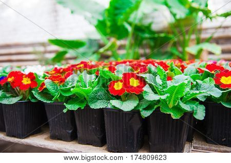 Rows Of Colorful Primulas In A Greenhouse