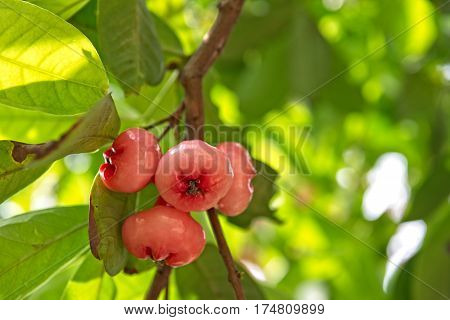 A bunch of pink water apples on a branch
