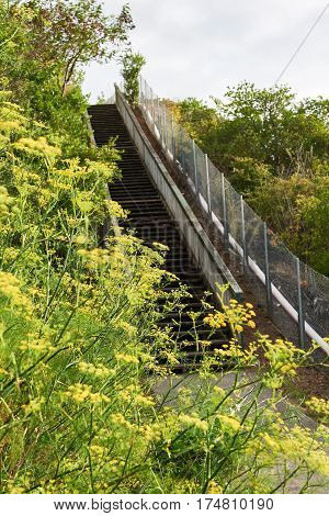 Pedestrian walkway alongside yellow helichrysum arenarium blooms on a meadow
