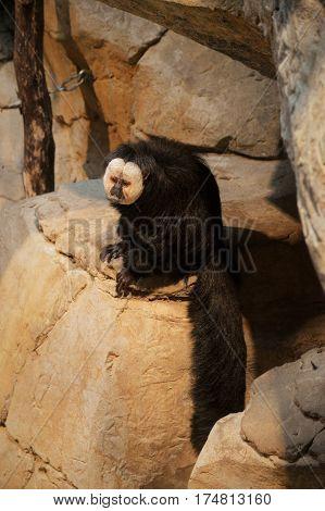 A male Saki monkey sitting on a rock
