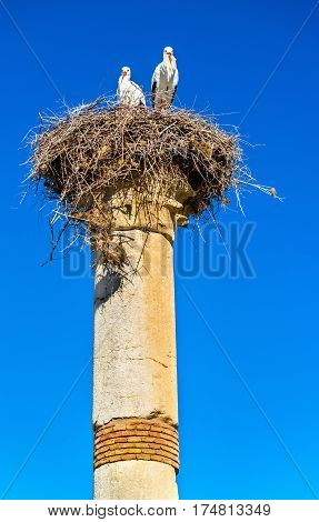 Storks on a pillar of Roman Basilica at Volubilis, a UNESCO world heritage site in Morocco
