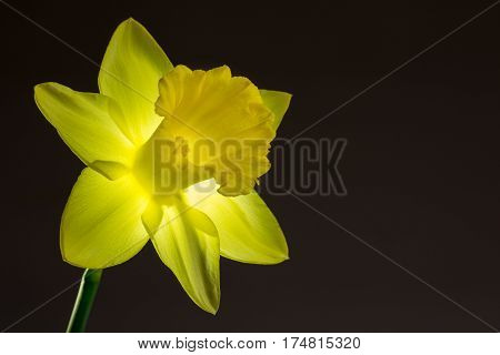 Close up image of yellow daffodil with back lighting