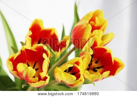 five red tulips Tulipa with yellow stripes on a white background