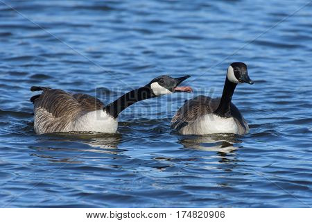 Two Canada Geese enjoying a warm spring day at the lake.