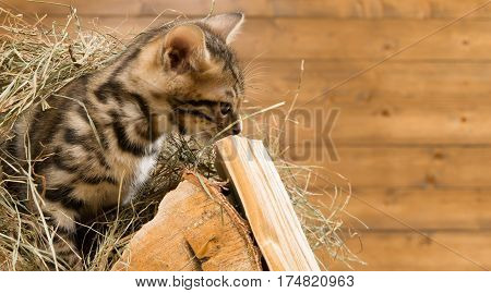 Bengal kitten sitting on a wood in Senna and looks to the bottom
