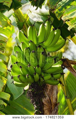 Banana Tree With Bananas Ripening