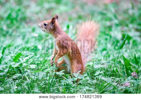 Red squirrel Sciurus vulgaris standing on a tree trunk looking interested