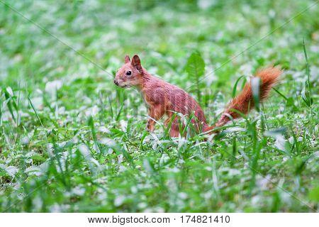 Sciurus vulgaris. Red Squirrel in the green grass