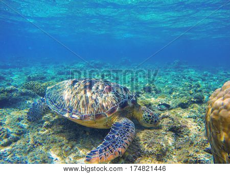 Sea turtle eating seaweeds on seabottom. Green turtle in wild nature. Sea tortoise in clean blue water. Oceanic animal photo in natural environment. Snorkeling with tortoise. Tropical island vacation