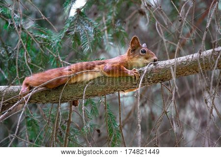 funny red squirrel lying on the tree in an embrace with a branch