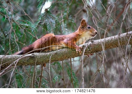 hunting funny red squirrel on the tree