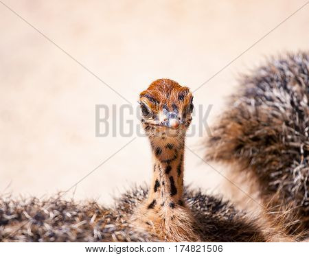curious young ostrich on the farm. chick African ostrich walking