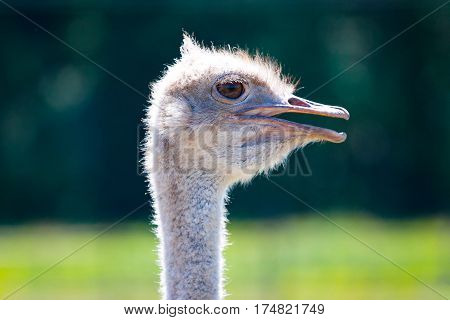 portrait of a curious ostrich. The Adult ostrich enclosure. Curious african ostrich