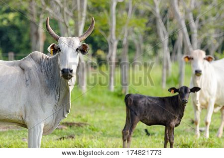 MATO GROSSO DO SUL BRAZIL - FEBRUARY 02 2017: Cattle in farm pasture looking at the camera. White and black cattle with horn and without horn mixed. Cattle with yellow tags on ears.