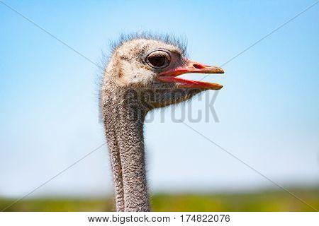 The Ostrich head close-up at ostrich farm.