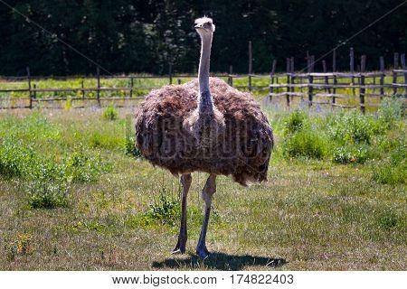 ostrich bird in the farm. adult ostrich on the farm