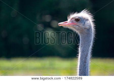 ostrich closeup in nature. Ostrich face portrait close-up