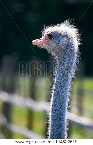 Ostrich face portrait close-up. Ostrich head close-up at ostrich farm.