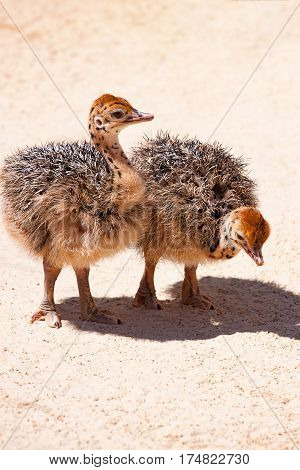 Small baby ostrich. Funny chick ostrich on sand