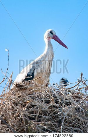Adult Stork with the baby on the nest