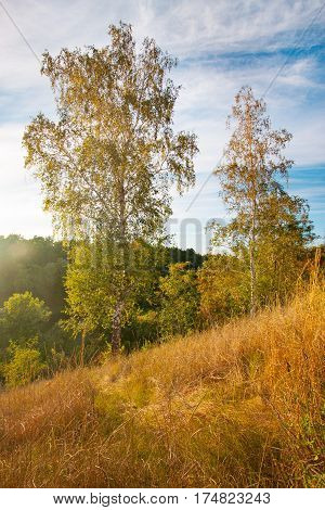 summer landscape sunset with gold grass and birches