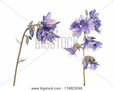 Jacob's ladder plant (Polemonium caeruleum) - medicinal plant isolated on white background