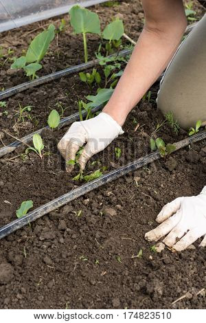 Cleaning Weed In Greenhouse With Hands