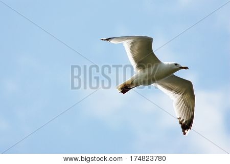 Seagull flying on sky. Flying Seagull on sky background.