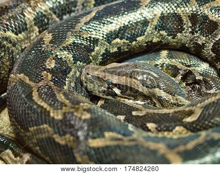 The Photo of reticulated python head closeup