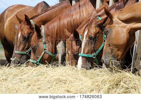 Thorougbred young horses chewing hay on the ranch. Herd of horses chewing fresh hay on ranch summertime
