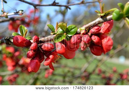 Red quince flower in the spring time