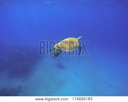 Sea turtle swimming in blue water. Green turtle in wild nature. Sea tortoise diving in blue seawater. Oceanic animal photo for card or banner. Snorkeling with tortoise. Exotic seashore animal species