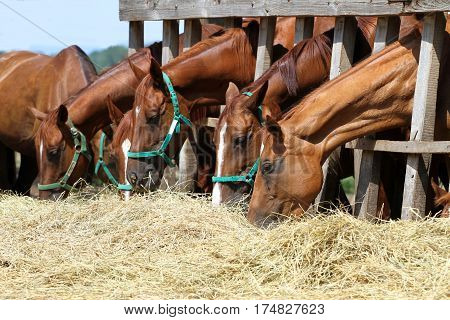 Chestnut mares and foals eating hay on the ranch. Young horses eating hay on the farm